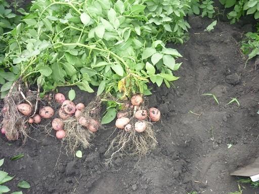 Максим ЧЕКУСОВ: «Нам не нужен заморский картофель»